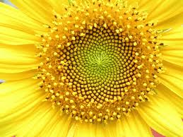 wheel of theodorus in nature. sunflower head displaying florets in spirals of 34 and 55 around the outside. wheel theodorus nature