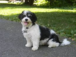 Small Picture Reviews of Royal Flush Havanese Royal Flush Havanese