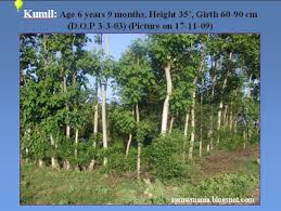 agroforestry a blog on agrihortisilviculture densely planted densely planted kumil gmelina arborea trees