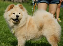 chow chow this is a small dog breed