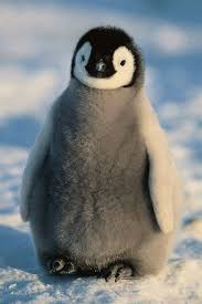 baby emperor penguins. Perfect Penguins We Want To Hug This Fluffy Baby Penguin So Badly Intended Baby Emperor Penguins I