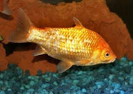 Goldfish Types Fish Guides For Fancy Goldfish And Common