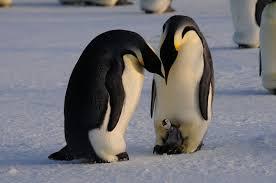 emperor penguin egg. Wonderful Penguin For Emperor Penguin Egg