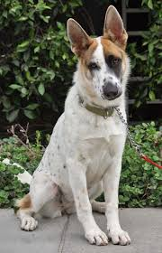 black and white spotted german shepherd. Modren White The Panda German Shepherd Is Almost Too Beautiful 19 Unusual Dog Breeds  And Markings Will Make You Fall In Love To Black White Spotted N