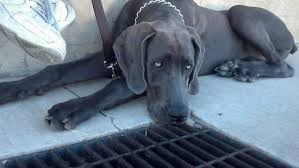 a black great weimar dog with silver looking eyes is laying between a wall and a