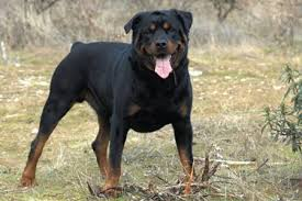 Image result for pictures of rottweilers