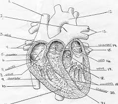 32 cool pig heart rh classicviralvideos pig disection diagrams her art pig insides diagram