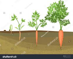 carrot plant stages. Perfect Stages Stages Of Growth Carrots On White Background Intended Carrot Plant