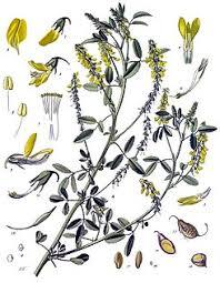 Melilotus - Wikipedia, la enciclopedia libre