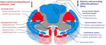 Spinal Cord Tracts English Dorsal Spinocerebellar Tract