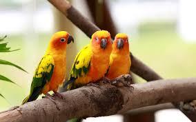 love birds hd wallpapers beautiful love birds wallpapers