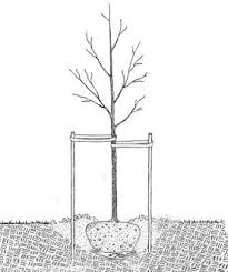 How To Prune Plum Trees  YouTubeWhen Do You Plant Fruit Trees