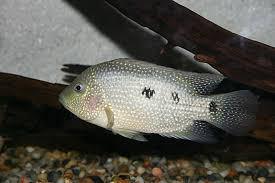 Texas Cichlid Wikipedia