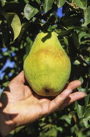 Tree Fruit Culture And Cultivars In North Dakota U2014 PublicationsDo All Pear Trees Bear Fruit