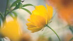 flowers yellow flower wallpaper