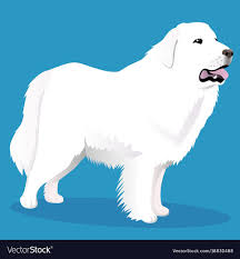 great pyrenees dog vector image