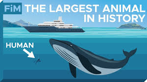Blue Whale Size Chart How Large Are Blue Whales Really Size Comparison