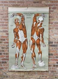 American Frohse Anatomical Charts Key Original Vintage American Medical Wall Mount Drop Down Human Muscular System Anatomical Poster