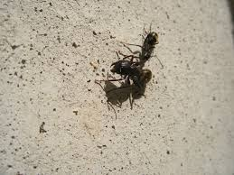 Carpenter Ants Are Awake Colonial Pest Control