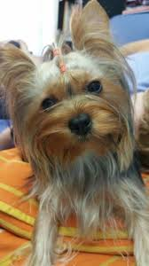 Pin by Lorie Lowe on kira fue hoy de peluquería | Yorkie, Animals, Dogs