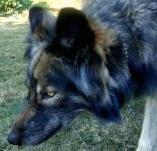 close up the left side of a black and tan wolfdogs face that is walking