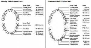 Dental Tooth Chart With Surfaces Dental Teeth Tooth Chart