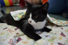 petco cats for sale. Contemporary Cats The Brown County Humane Society Teams Up With The Bloomington Eastside Petco  And Martinsville PetSmart To Showcase Cats Until They Find Homes With Cats For Sale 2