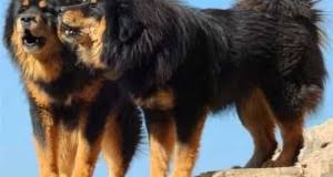 big dog breeds picture ideas of terrier dog breed and puppies