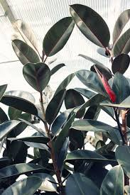 rubber plant with red leaf sheath photo by madison inouye