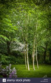 Small Picture Six silver birch trees in small woodland garden in Cumbria UK ADA