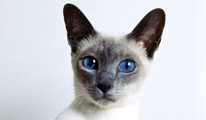Siamese Cat Colors Chart Fascinating Facts Siamese Of Day