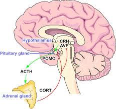 File Hypothalamo Pituitary Adrenal Hpa Stress Axis Jpg Wikimedia