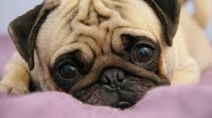 pug puppy wallpaper. Modren Puppy Preview Wallpaper Pug Puppy Snout Eyes Lie Intended Pug Puppy Wallpaper
