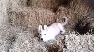 white german shepherd malamute mix. To White German Shepherd Malamute Mix