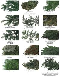 Christmas Tree Types  Noble Fir Find Out Why To Choose This Tree Types Of Fir Christmas Trees