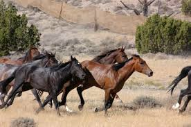 wild horses mustang running. Perfect Mustang Wild Horses Are Pictured In This File Photo From The Bureau Of Land  Management Website These Not Running Loose BeaverheadDeerlodge  In Horses Mustang Running S