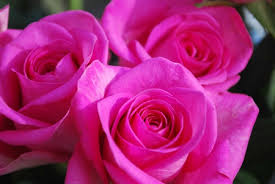 hot pink flowers wallpaper. Brilliant Hot Hot Pink Roses Throughout Flowers Wallpaper E