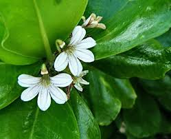 Image result for naupaka flowers