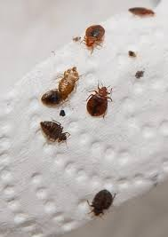 Small Bugs In Bedroom Your Dreams Analysis By Lauren Lawrence Ny Daily News