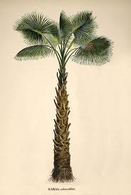 southcarolinadove: The sabal palmetto, by Carl Friedrich Philipp von  Martius, the sabal palmetto is the state tree of South Carolina, usually  just referred ...