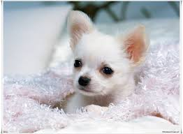 A Photo Of A White Chihuahua Puppy Puppies Pinterest White