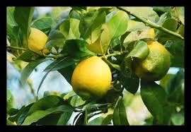 lemon tree x: lemon tree citrus x limon by manubell