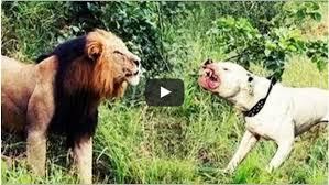 pitbull dog vs lion. Beautiful Pitbull Pit Bull Attack Lion  Dog Vs Lion Compilations To Pitbull Vs T