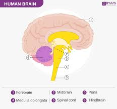 Flow Chart Of Nervous System In Human Beings Human Brain Structure Diagram Parts Of Human Brain