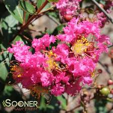 Coral Filli Fleming™ Crapemyrtle Buy Online, Best Prices