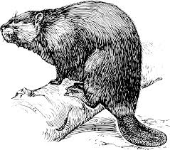 Explore Zoology Beavers And More