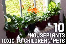 10 toxic houseplants that are dangerous for children and pets dengarden