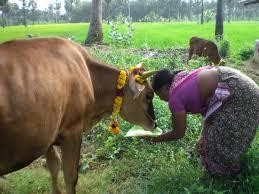 pongal festival celebration makara shankranthi mattu pongal custom mattu pongal festival celebration