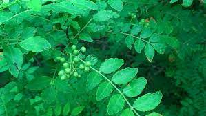 山椒 の 木 の 育て 方