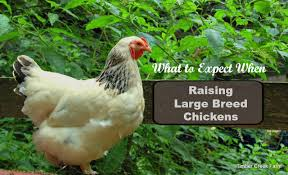 Cochin Chicken Color Chart Raising A Large Breed Chicken Brahma And Cochin Timber